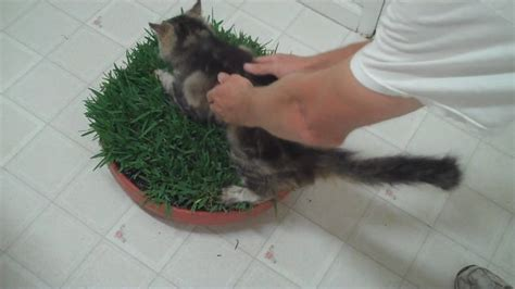 how to make a cat grass bed