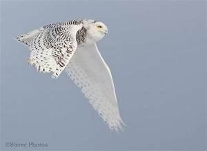 Hedwig Flying | www.pixshark.com - Images Galleries With A ...