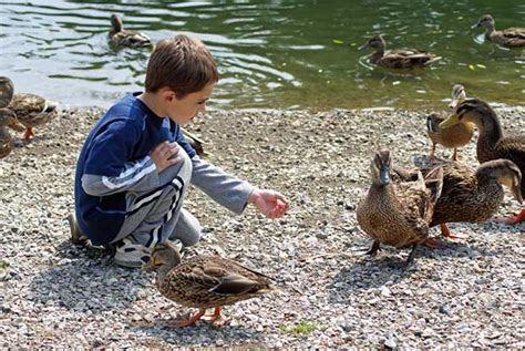 feeding ducks bread feed the ducks where do i take the kids