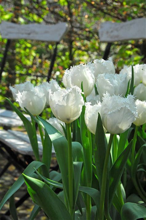 tulipa swan wings garden nursery near me large