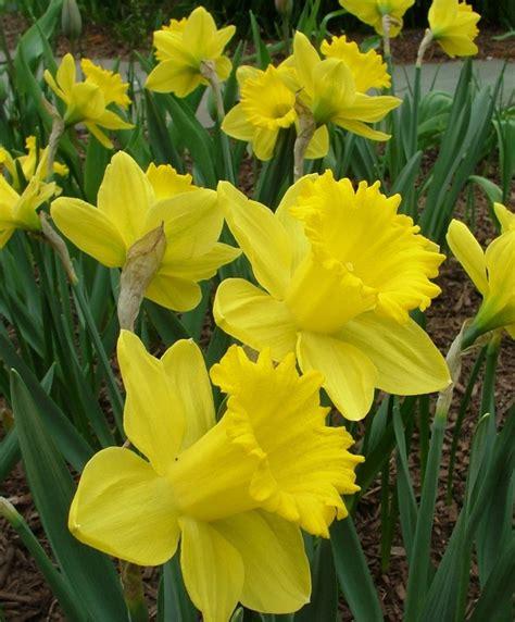 narcissus king alfred trumpet daffodils narcissi