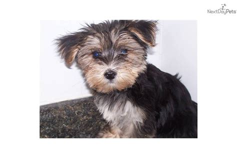 do morkie puppies shed morkie yorktese puppy for sale near chicago illinois