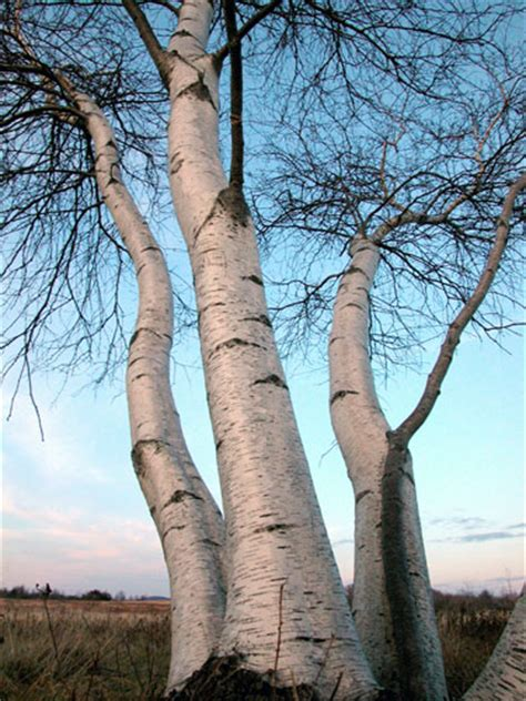 types of birch trees birch tree lots of pictures images photos facts