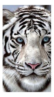 Golden White Tiger Wallpaper Amazing Wallpaper Hd Library ...