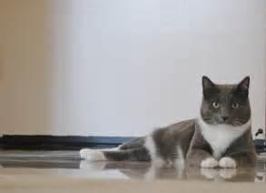 Grey White Tuxedo Cat