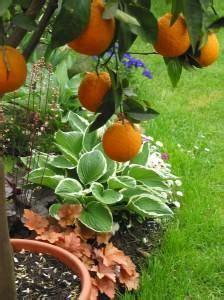 erde für zitruspflanzen zitruspflanzen umtopfen lesen sie hier alles zu zitrus topf erde