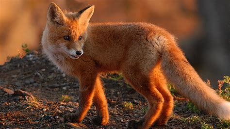 Wallpaper Fox Animal - fox wallpaper animal wallpapersafari