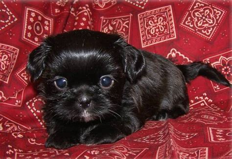 cute dogs black shih tzu dogs
