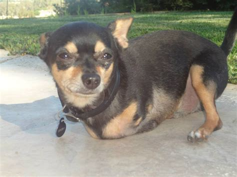 groby   legged rescue chihuahua   wheels photo huffpost