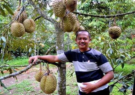 The gallery for > Kebun Durian Di Jawa Timur