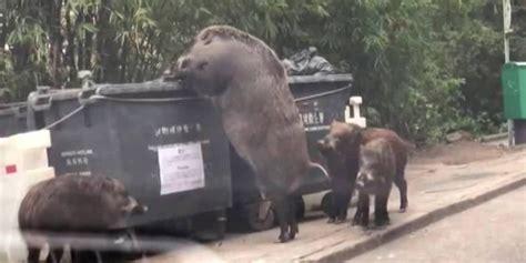 giant hogzilla wild boar spotted raiding dumpster  hong kong