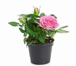 Rosen Im Topf Pflege : die rose als zimmerpflanze tipps und tricks zur ~ Lizthompson.info Haus und Dekorationen