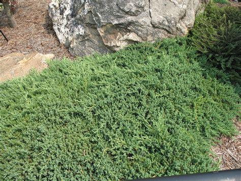 plant guide juniperus procumbens nana