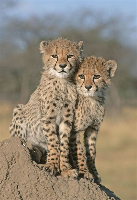 adorable cheetah cubs destined   playthings
