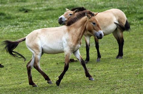 horses wild endangered mongolia native przewalski czech republic village near reintroduced tabor graze meadow dolni farm thestar