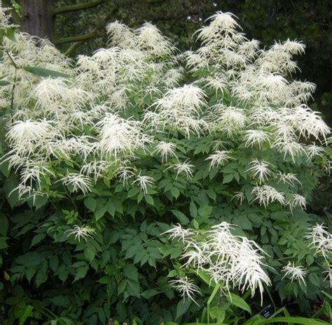 what are hardy perennial plants 4 6foot tall goat s beard shade plant aruncus dioicus hardy perennial flowers garden