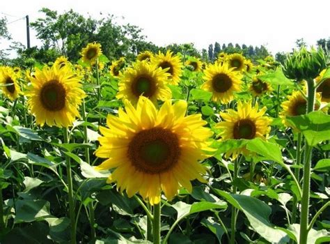 ternyata menanam bunga matahari bibit