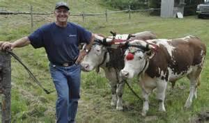 Oxen From Nova Scotia