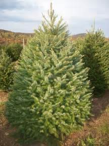 Nordmann Fir Christmas Tree Artificial by Pictures On Douglas Fir Christmas Tree Care Cheap