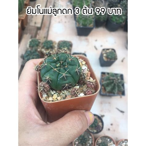 ( 3 ต้น 99 บาท คละได้ ) ยิมโนแม่ลูกดก (แดมชิไอ) ขนาด กระถาง 2 นิ้วค่ะ | Shopee Thailand