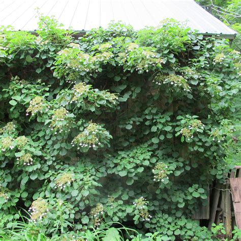 wall plants for shade trees and shrubs for the shade henry homeyer