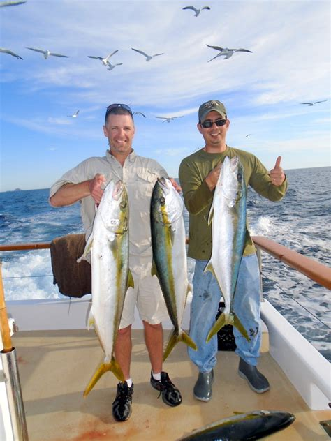 yellowtail fish california fishing caught party islands boat san bass yo catch lures coronado surface iron wiki diego calico howtocatchanyfish
