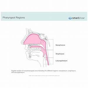 Pharyngeal Regions