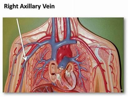 Vein Axillary Anatomy Right Veins