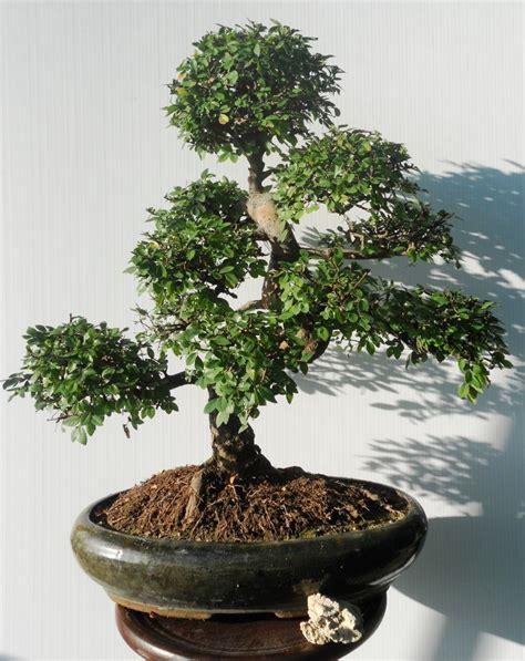interno it bonsai da interno