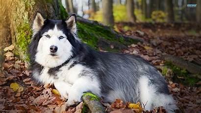 Husky Siberian Huskies Wallpapers Backgrounds Animal Desktop