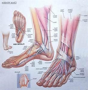 Diagram  Foot Tendons And Ligaments Diagram