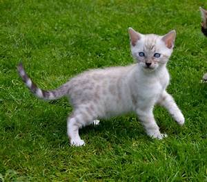 Stunning Bengal kittens (Snow spotted and Marble ...