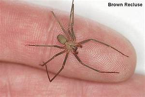 Brown Recluse - The Cryptozoologist