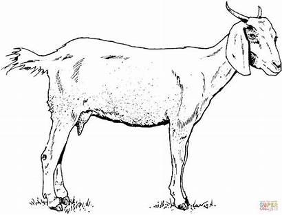 Goat Nubian Drawing Goats Getdrawings