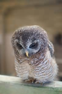 Woodford Owl
