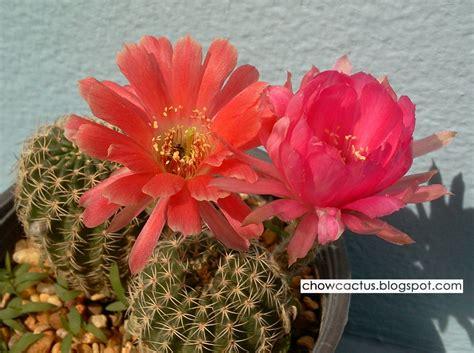 Lobivia cactus รวมภาพและเรื่องราวการปลูกโลบิเวียแคคตัสของ ...