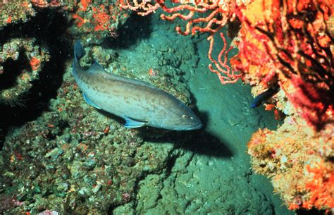 grouper gag noaa fish mycteroperca microlepis species wikipedia gulf mexico fisheries overfishing overfished credit potts boundaries care lows rebuild continue