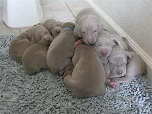 Pin Blue Weimaraner Newborn Puppy Flickr Photo Sharing on ...