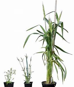 First member of the wheat and barley group of grasses is ...
