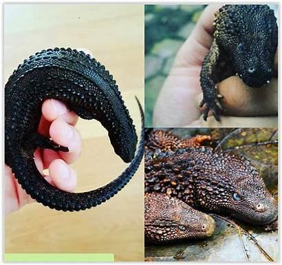 Lizard Monitor Earless Aquatic Pet Cool Reptiles