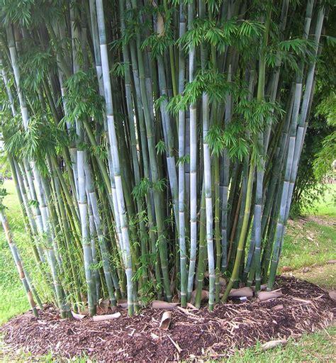 bamboo varieties bamboo australia 187 bamboo clumping species