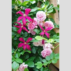 64 Best Images About Garden Flowering Vines Climbers On