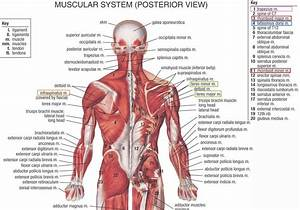 Muscles  Ligaments And Tendons Of The Human Back