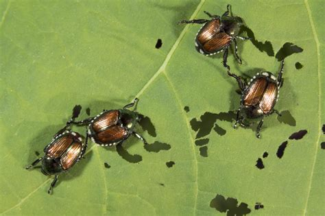 Signs of Japanese Beetle Infestations · Shades of Green ...