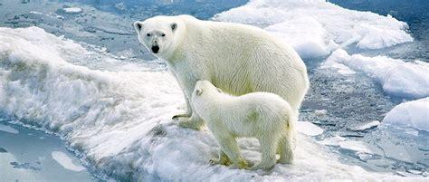 usfws releases final polar bear conservation plan