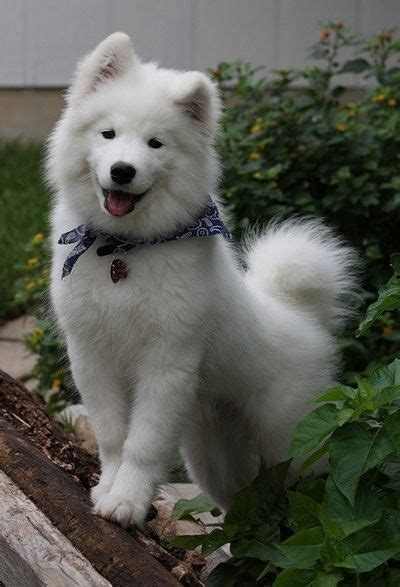 17 Best Images About Dog Breeds On Pinterest Chow Chow