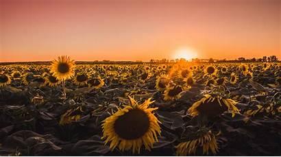 Farm Golden Hour Sunflowers 5k Wallpapers July