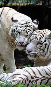 White Tiger - Singapore Zoo © 2013 by Ahmed Metwally ...