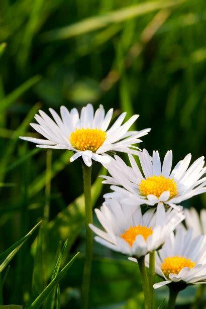 daisies  stock photo public domain pictures