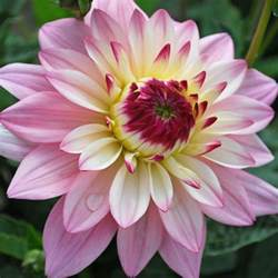 flower delivery service dahlia 39 gallery salvador 39 cottage plants